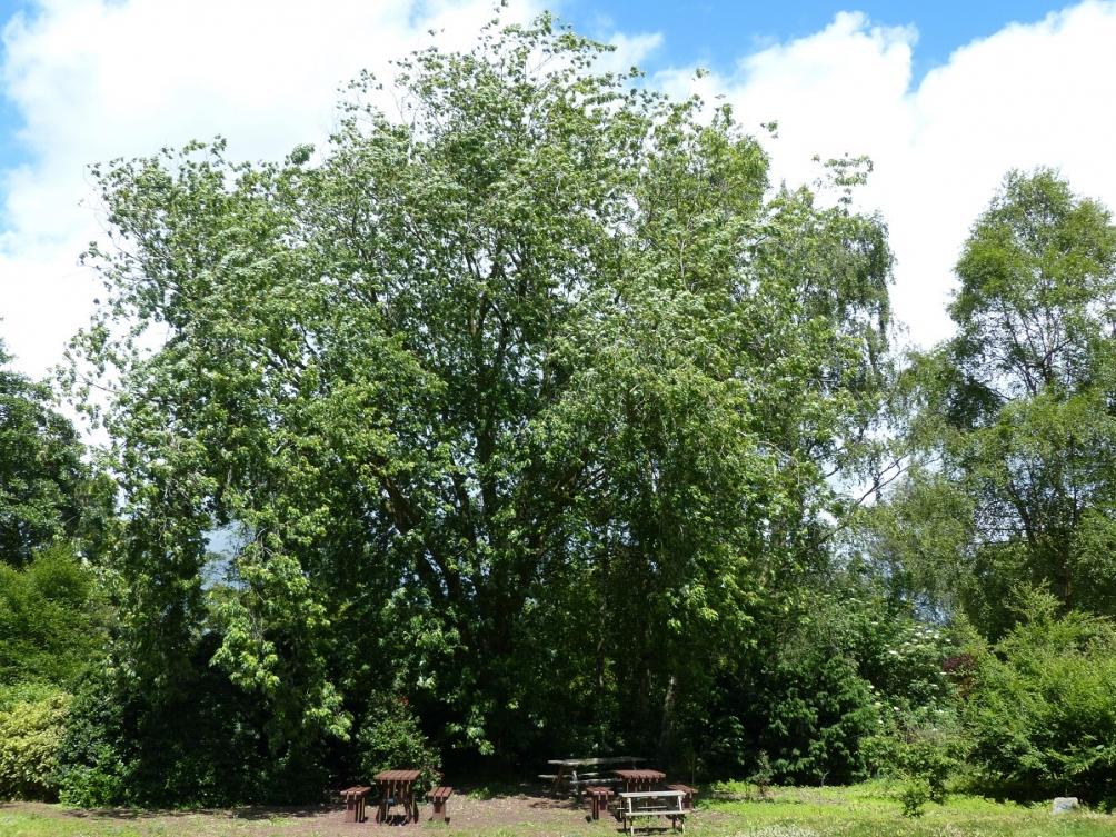 Mature Acer saccharinum at Ness Botantic Gardens