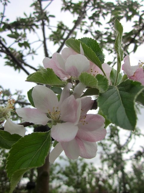 The flower of Malus Cox's Orange Pippin