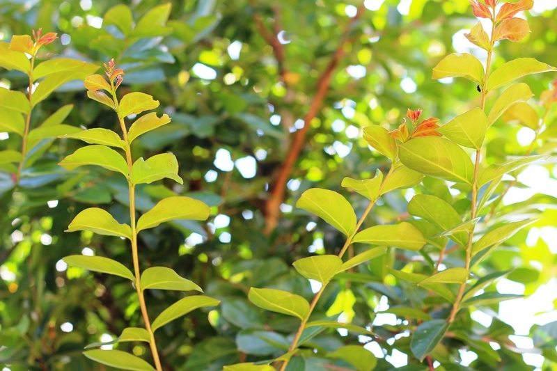 summer foilage of Lagerstroemia indica Red