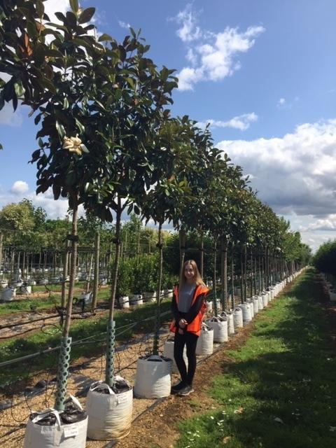 Magnolia grandiflora Praecox at Barcham Trees
