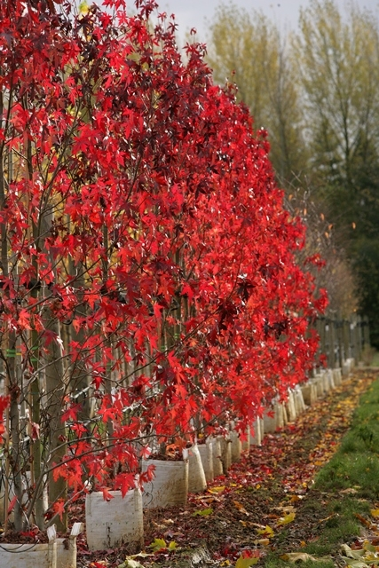beautiful autumn foliage of Liquidambar styraciflua Worplesdon