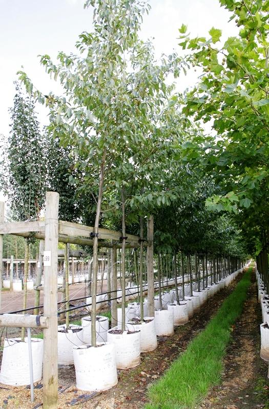 Alnus spaethii at barcham trees