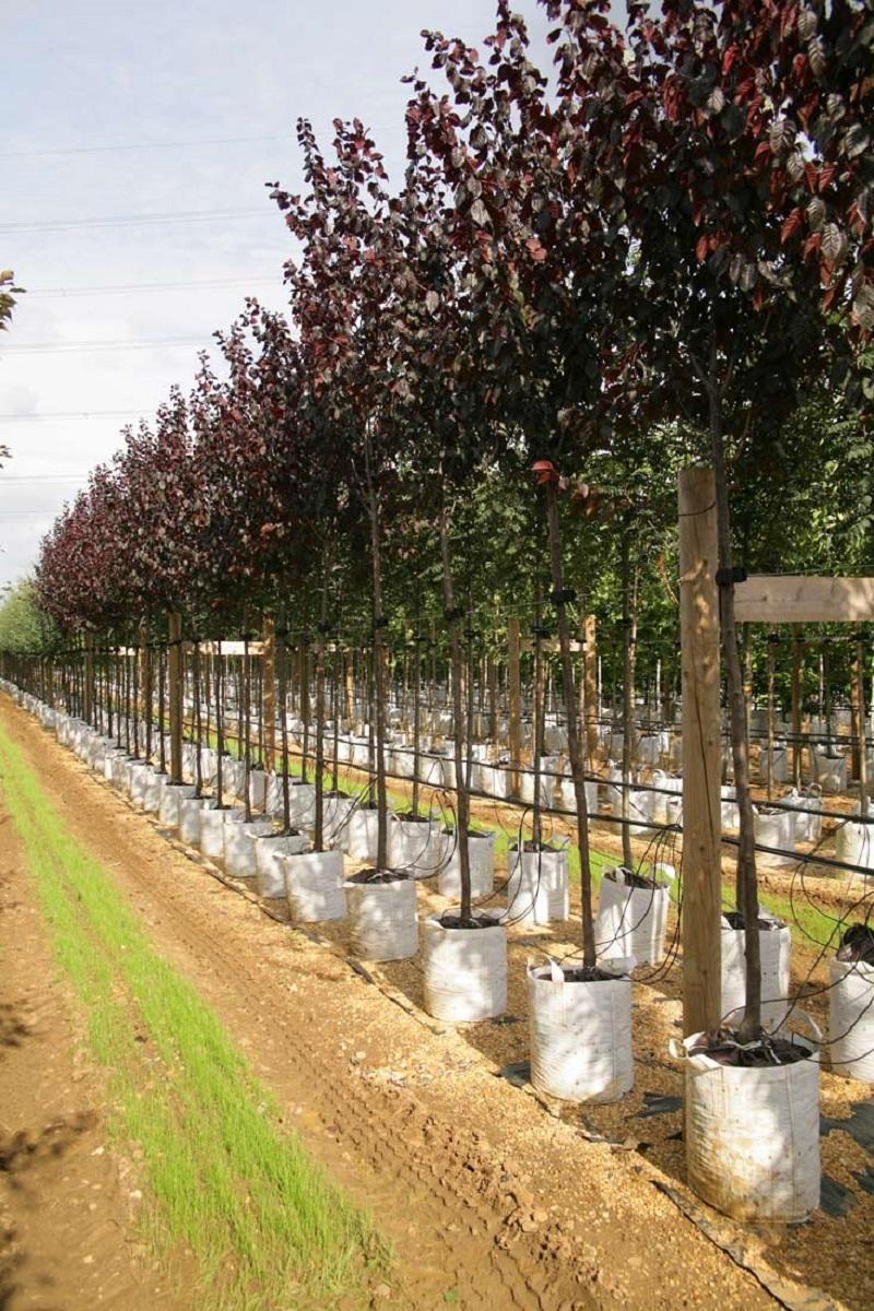 Prunus cerasifera Nigra on the barcham trees nursery