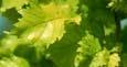 Ulmus carpinifolia Wredei Aurea foliage