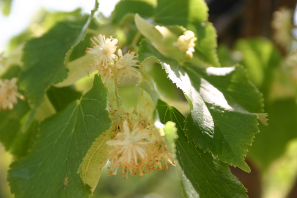 Tilia cordata Greenspire flowers