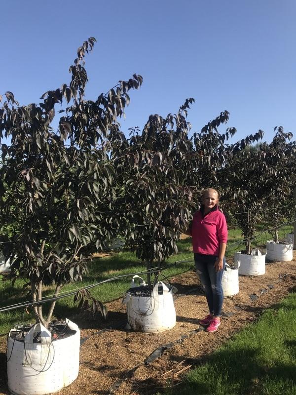 Prunus Royal Burgundy multi-stem on the barcham trees nursery