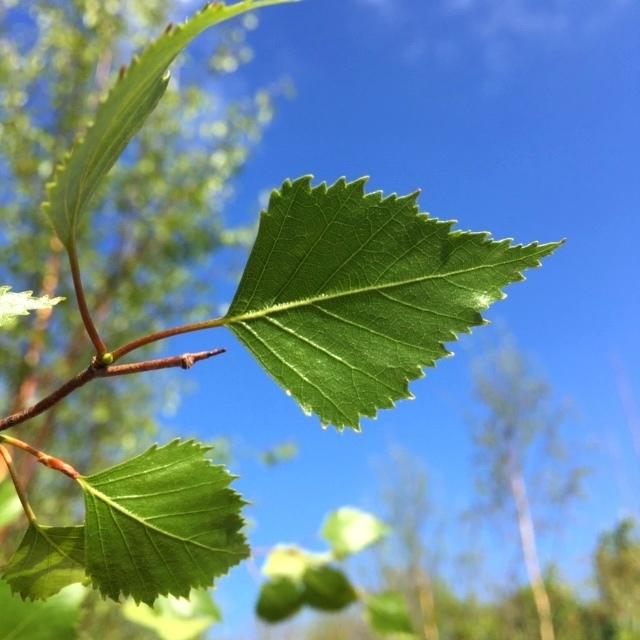 Betula pendula Beverley Beauty leaf