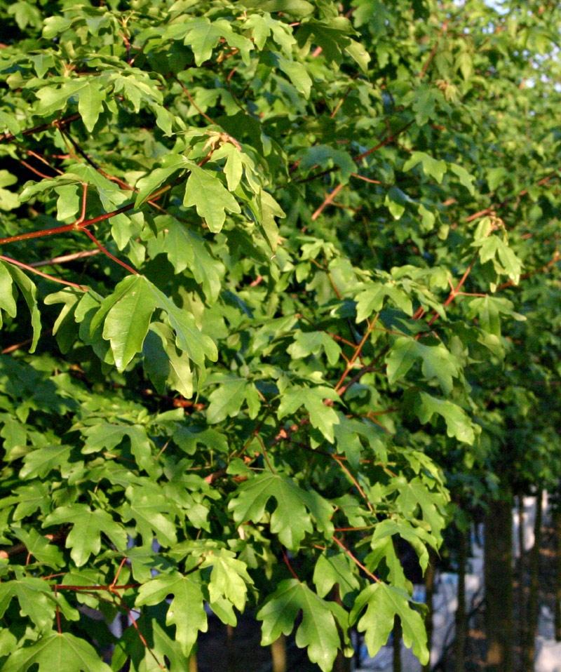 the foliage of Acer campestre Elsrijk