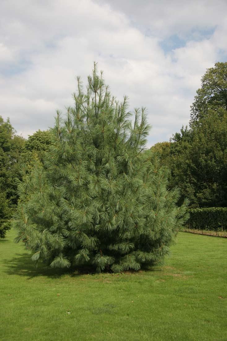 Mature Pinus wallichiana