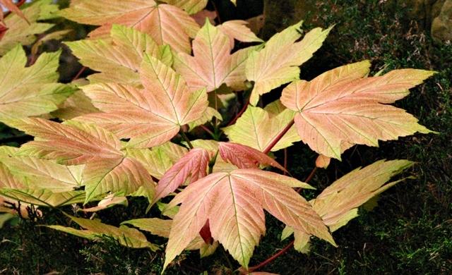Foliage of Acer pseudoplatanus Brilliantissimum