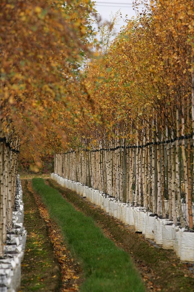 autumn colour of Betula pendula