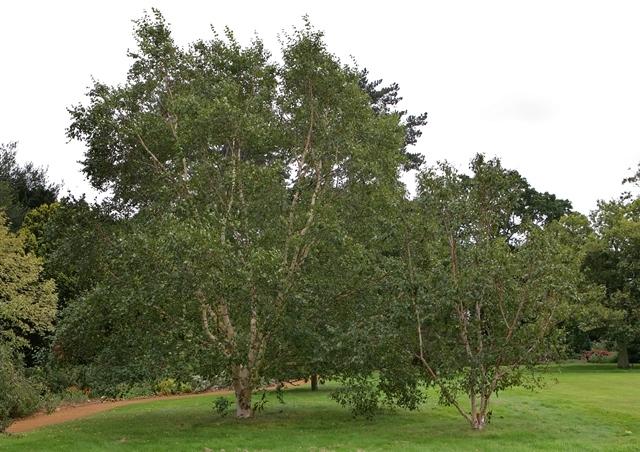 mature Betula albosinensis Fascination multi-stem