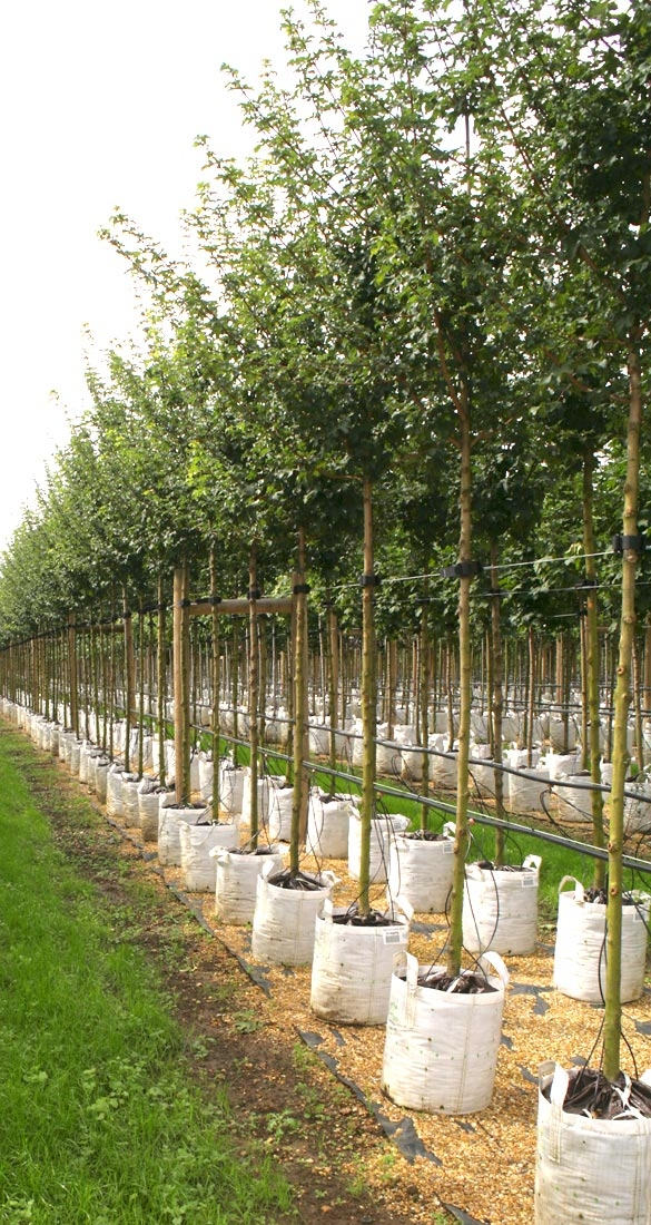 Acer campestre Queen Elizabeth on the barcham trees nursery