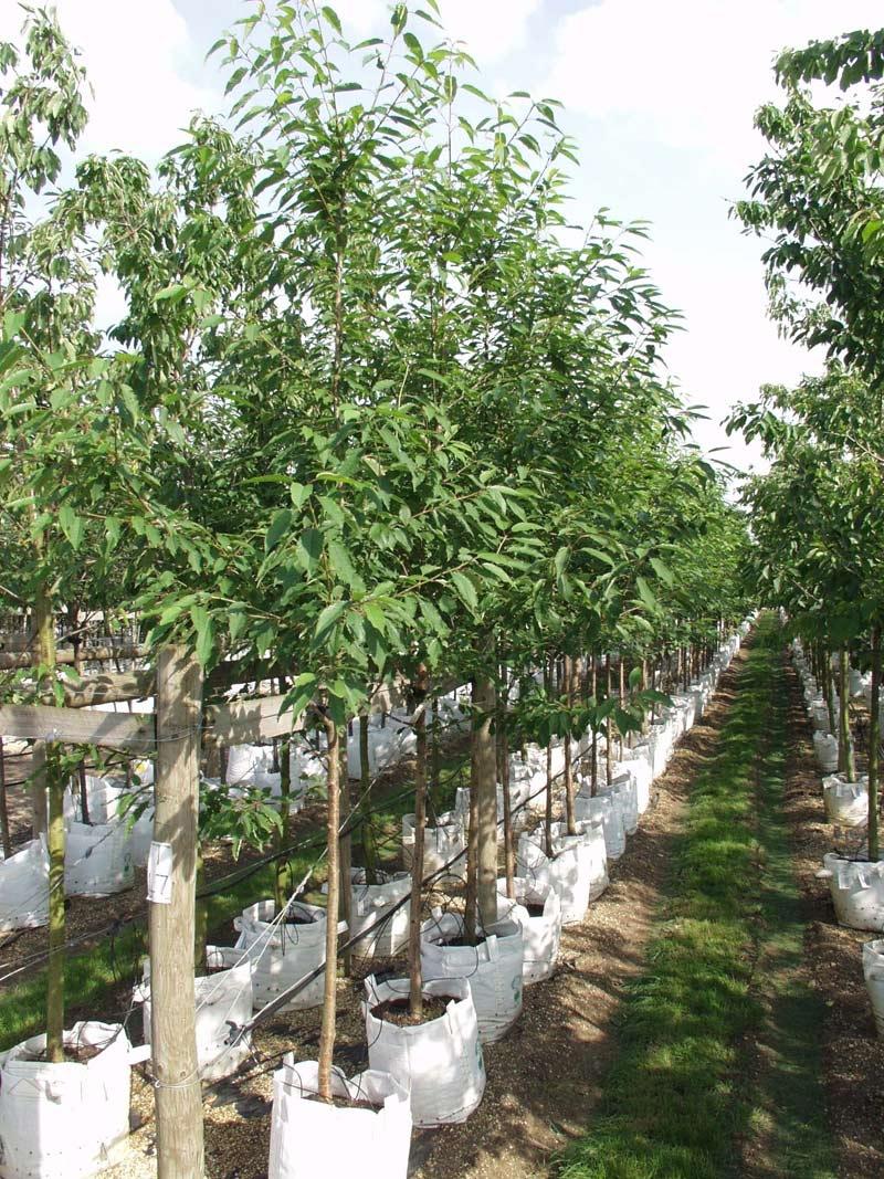 Prunus avium at barcham trees