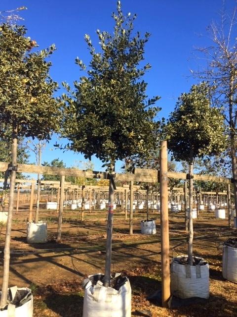 Ilex aquifolium Argentea Marginata at Barcham Trees