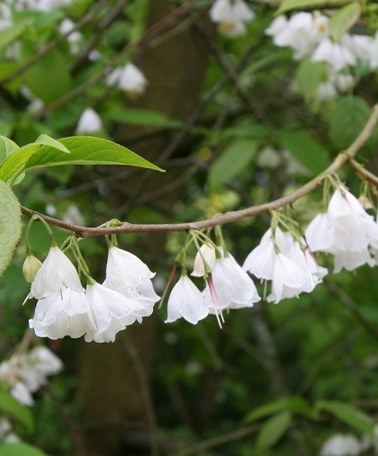 The pure white flowers of Halesia monticola