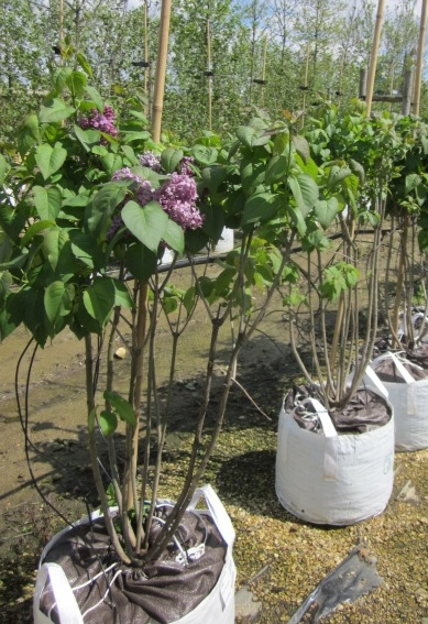 Syringa vulgaris Ruhm von Horstenstein at barcham trees
