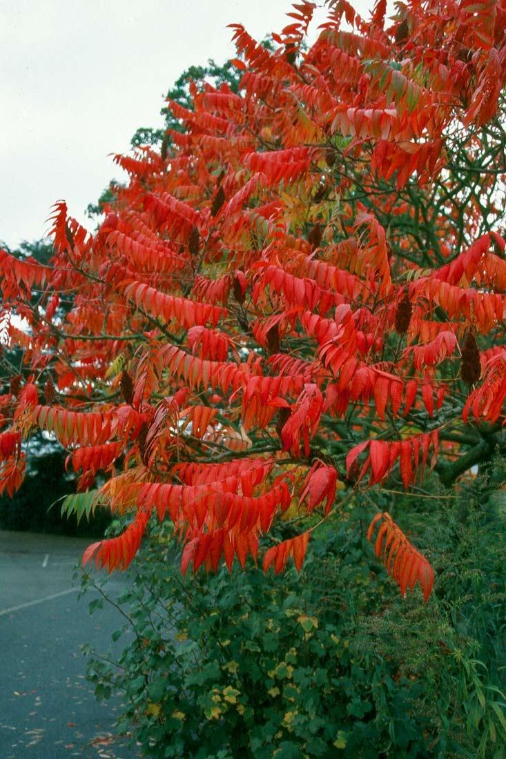 The stunning autumn foliage of Rhus typhina