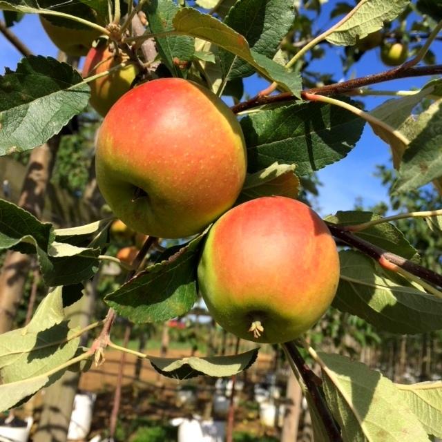 The apples of Malus Elstar