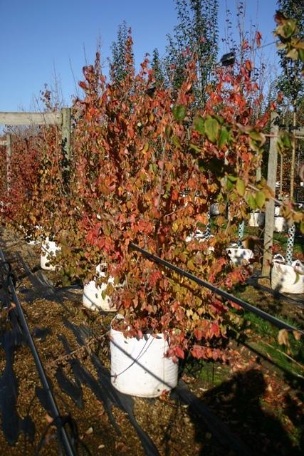 autumn colour of Cornus mas