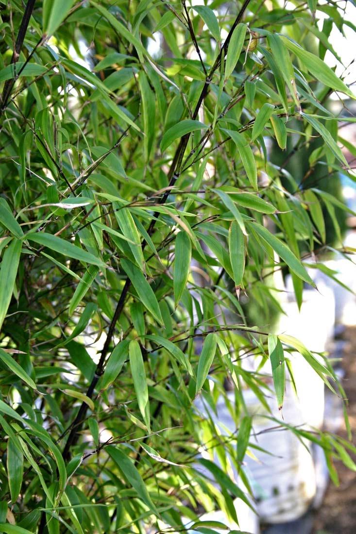 Phyllostachys nigra Multi-stem foliage