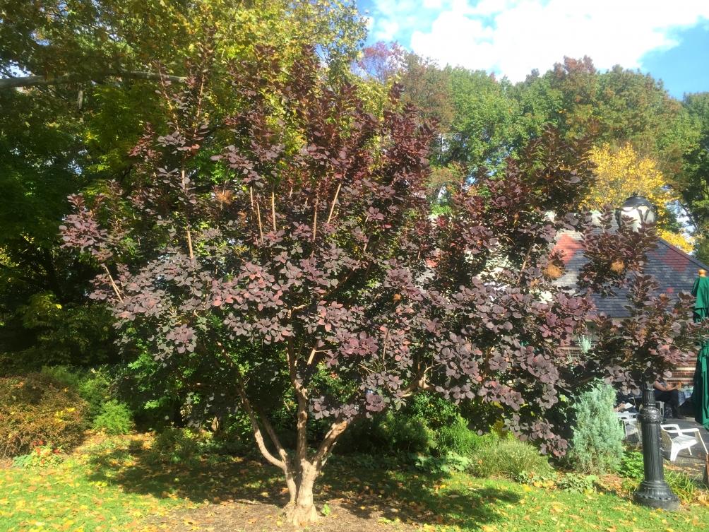 mature Cotinus coggygria Royal Purple