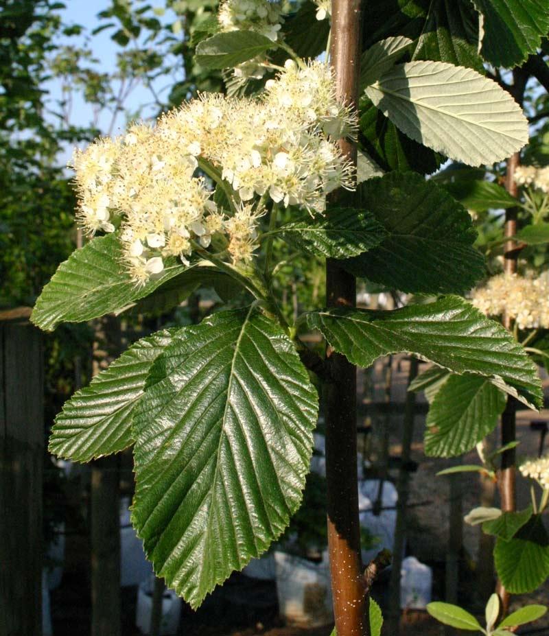Sorbus aria Magnifica flower