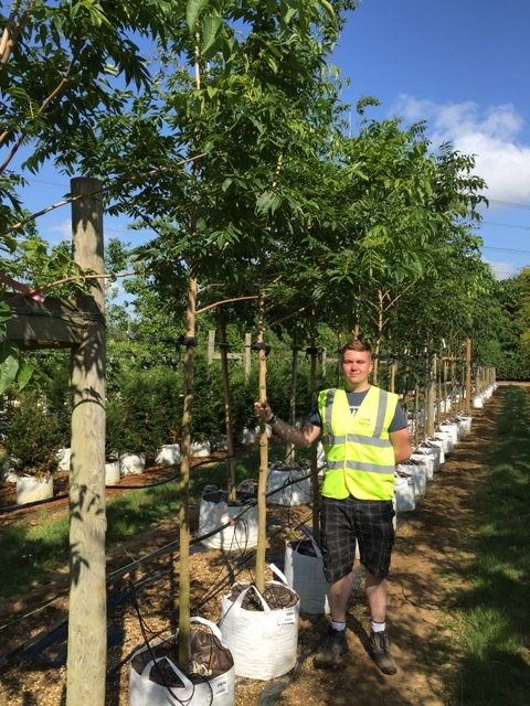 12-14cm girth Phellodendron amurense at Barcham Trees