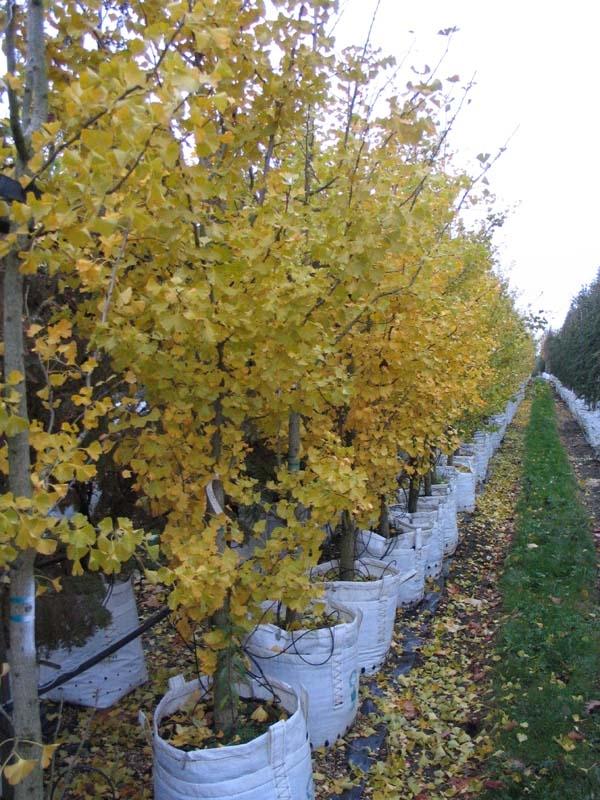 Ginkgo biloba in autumn foliage