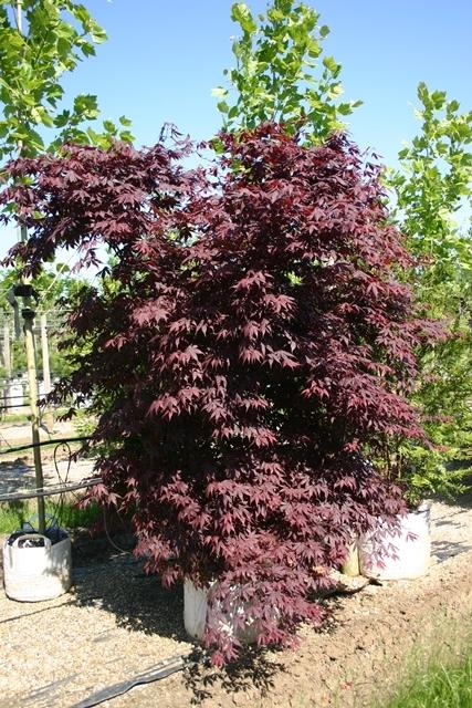 Acer palmatum Atropurpureum multi-stem