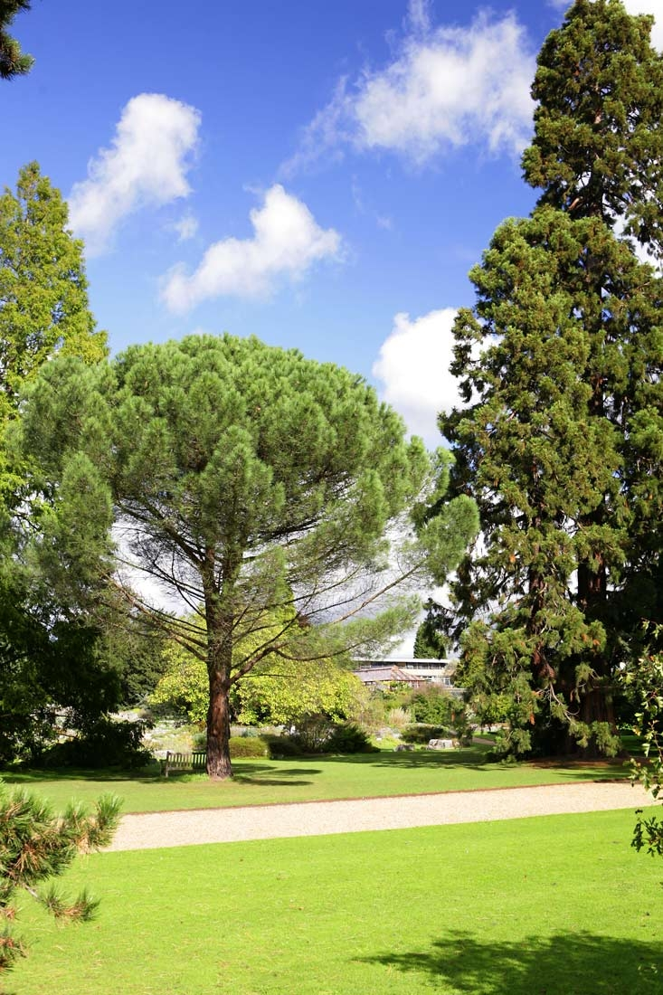 Mature Pinus pinea
