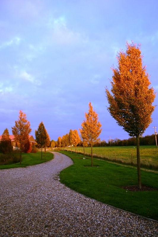 Beautiful autumn colour of  Medium Upright Hornbeam from this batch <> Carpinus betulus Frans Fontaine