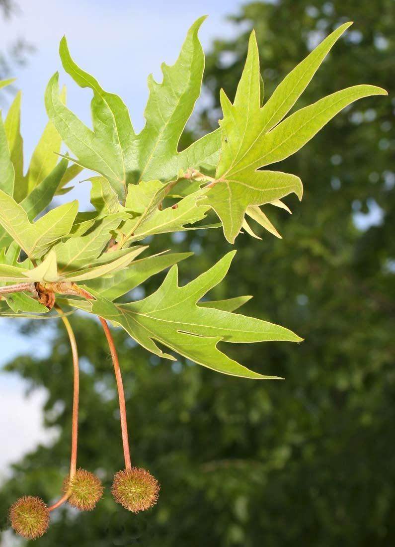 foliage and seed of Platanus orientalis Digitata