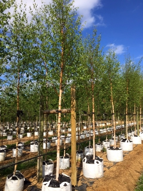 Betula pendula Beverley Baeuty at barcham trees