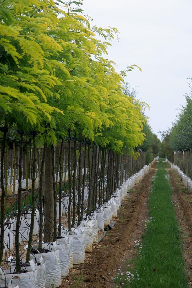 Gleditsia triacanthos Sunburst on the Barcham trees nursery