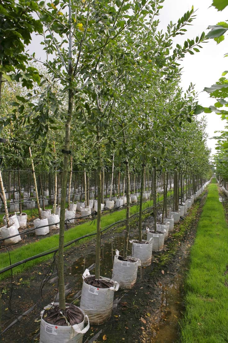 Salix daphnoides in a row on Barcham Trees nursery