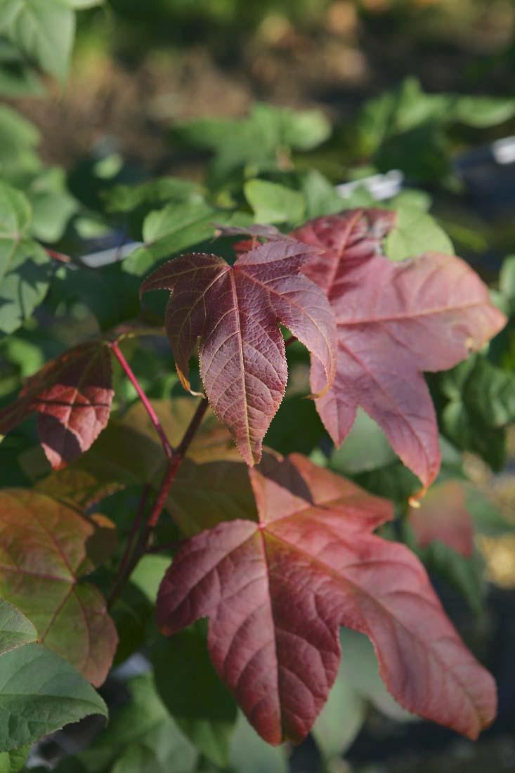 Liquidambar styraciflua Acalycina foliage
