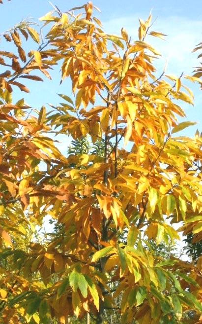 Castanea sativa autumn colour