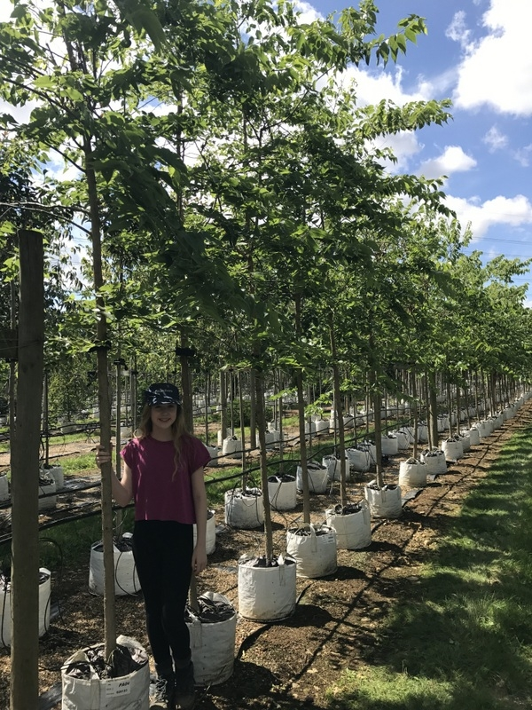 Celtis occidentalis at Barcham Trees