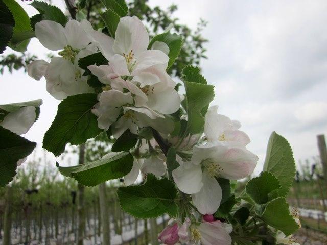 The white flower of Malus Egremont Russett