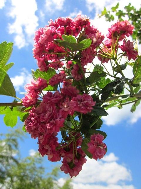 the pink flowers of Crataegus laevigata Pauls Scarlet