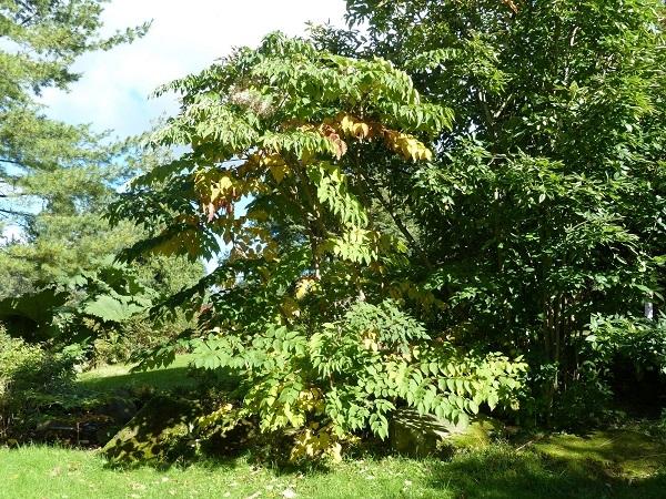 Mature specimen of Angelica tree