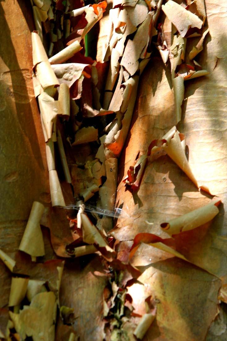 The peeling bark of Betula nigra