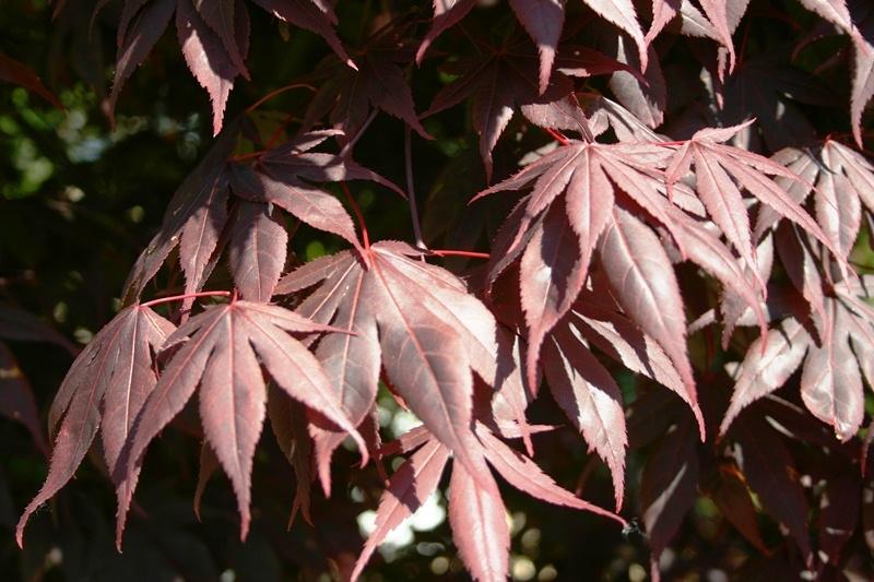 leaves of Acer palmatum Atropurpureum multi-stem