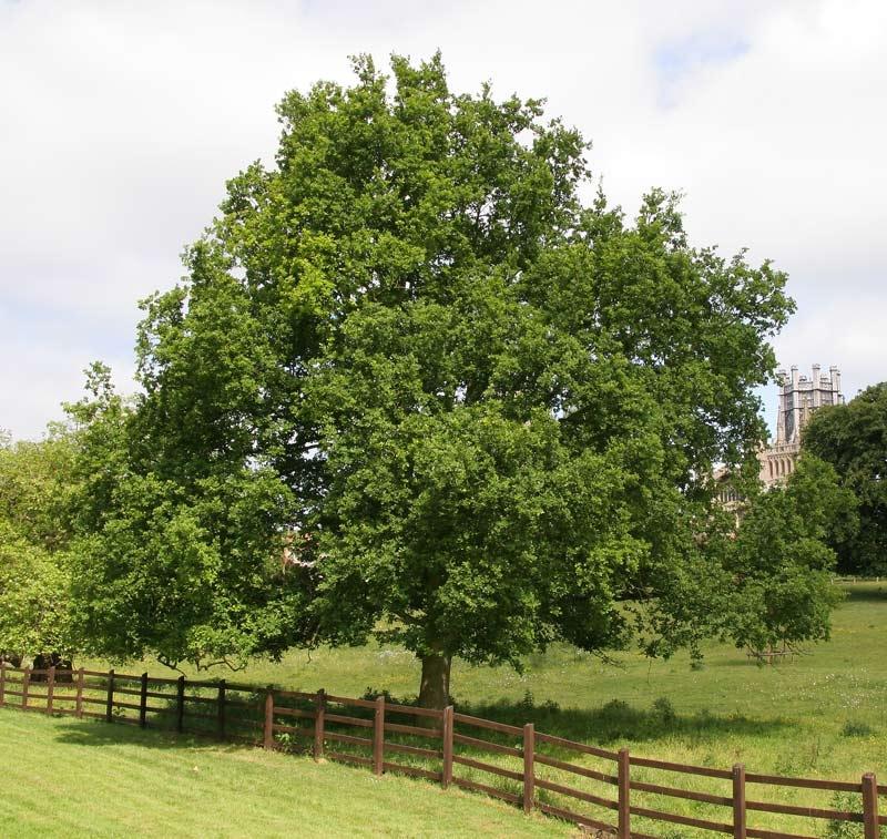 Mature Quercus robur
