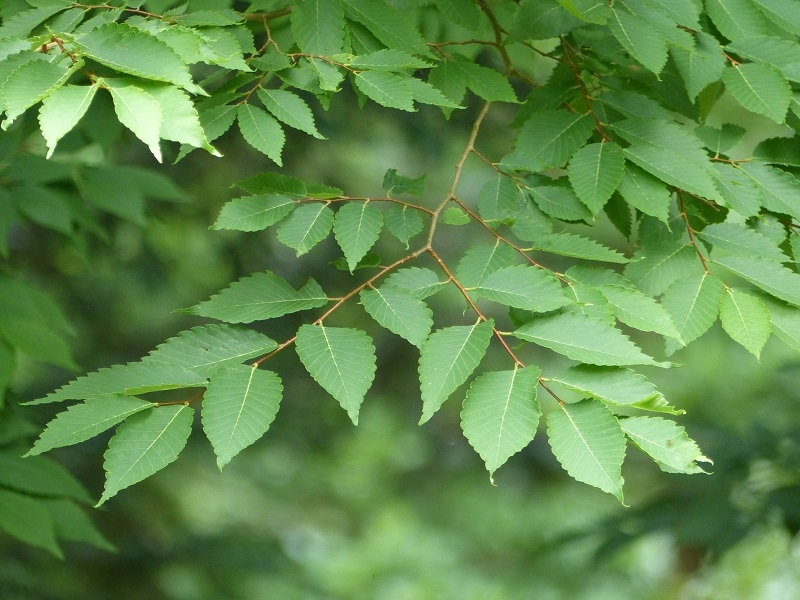 The foliage of Zelkova serata
