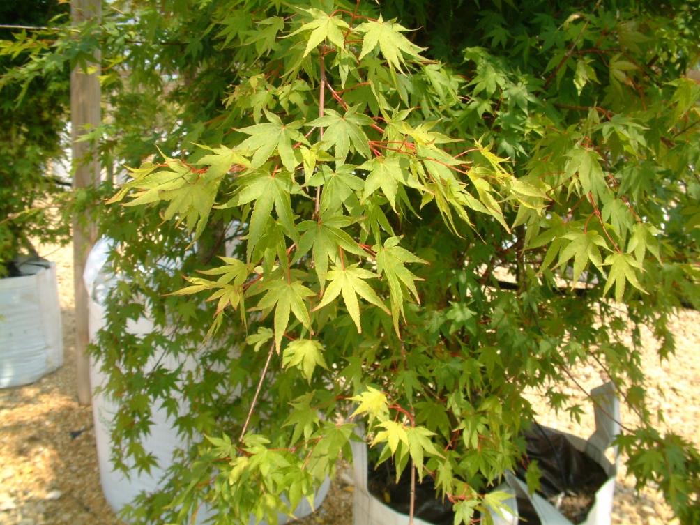 Acer palmatum Osakazuki multi-stem leaf