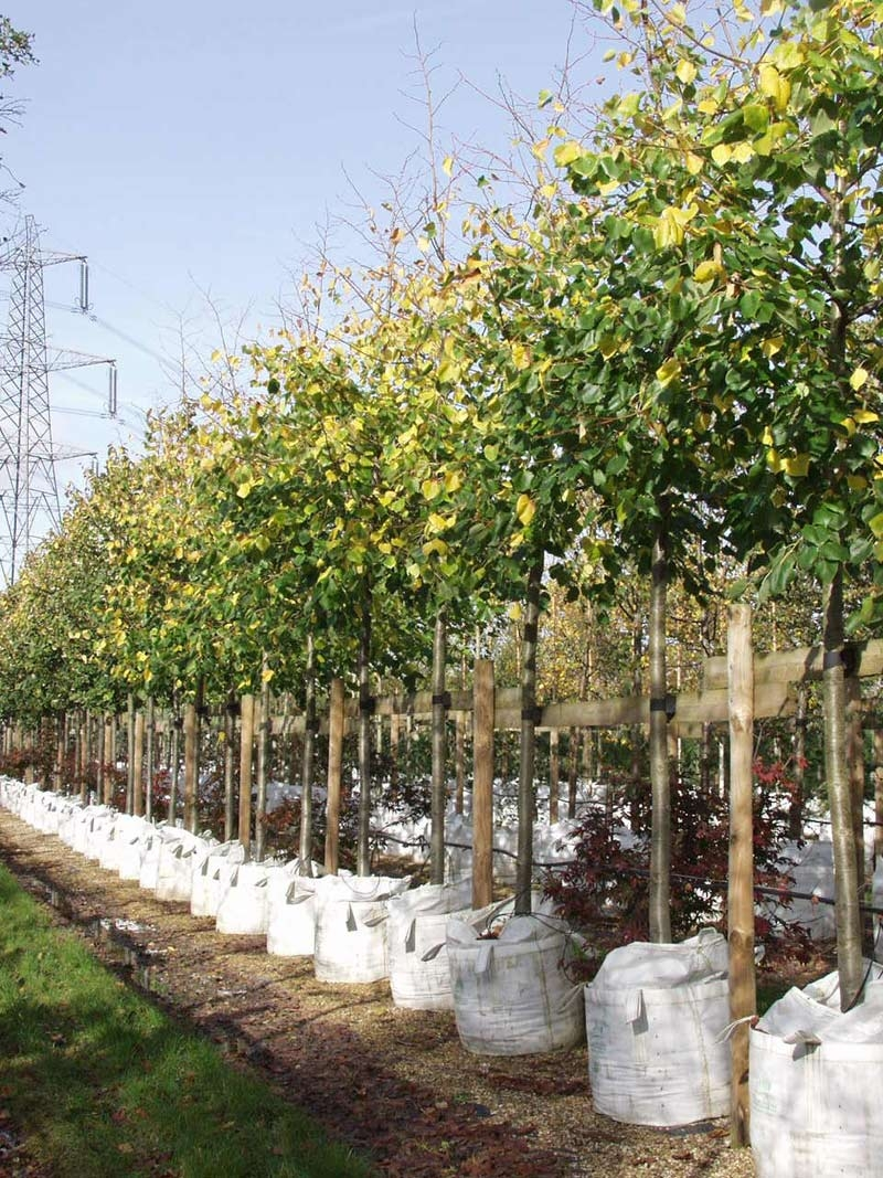 Tilia x euchlora in a row on Barcham Trees nursery