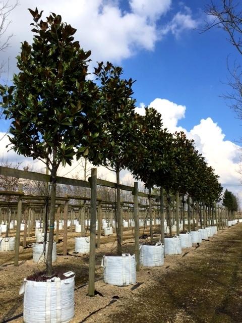 Magnolia grandiflora Gallissonniere at barcham trees