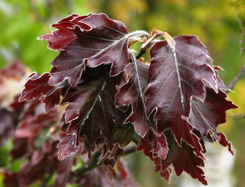 The red/purple foliage of  Medium Rohani Beech, Oakleaf Beech, Rohan European Saw-toothed Beech, Fern Leaved Copper Beech  Fagus sylvatica Rohanii